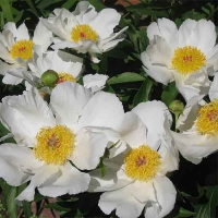 "Пион молочноцветковый ""Вайт вингз"" (Paeonia Lactiflora Hybriden White Wings)"